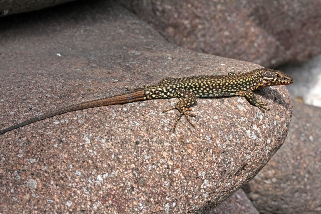 Healing by regeneration, lizards can do it.